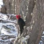 Pájaro carpintero Trekking Fitz Roy