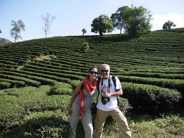 Campos de té de Chiang Rai