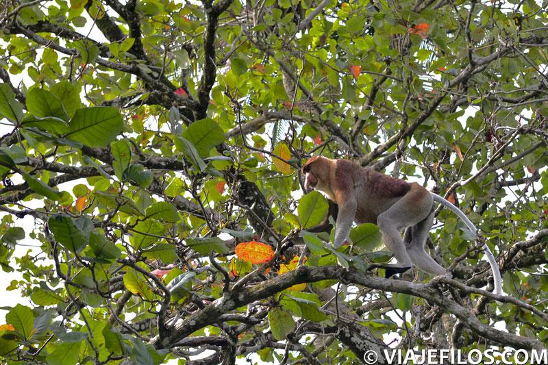 Monos narigudos del parque nacional de Bako