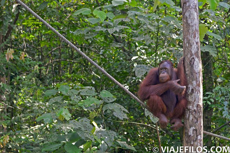 Reserva de orangutanes de Semengok, Malasia