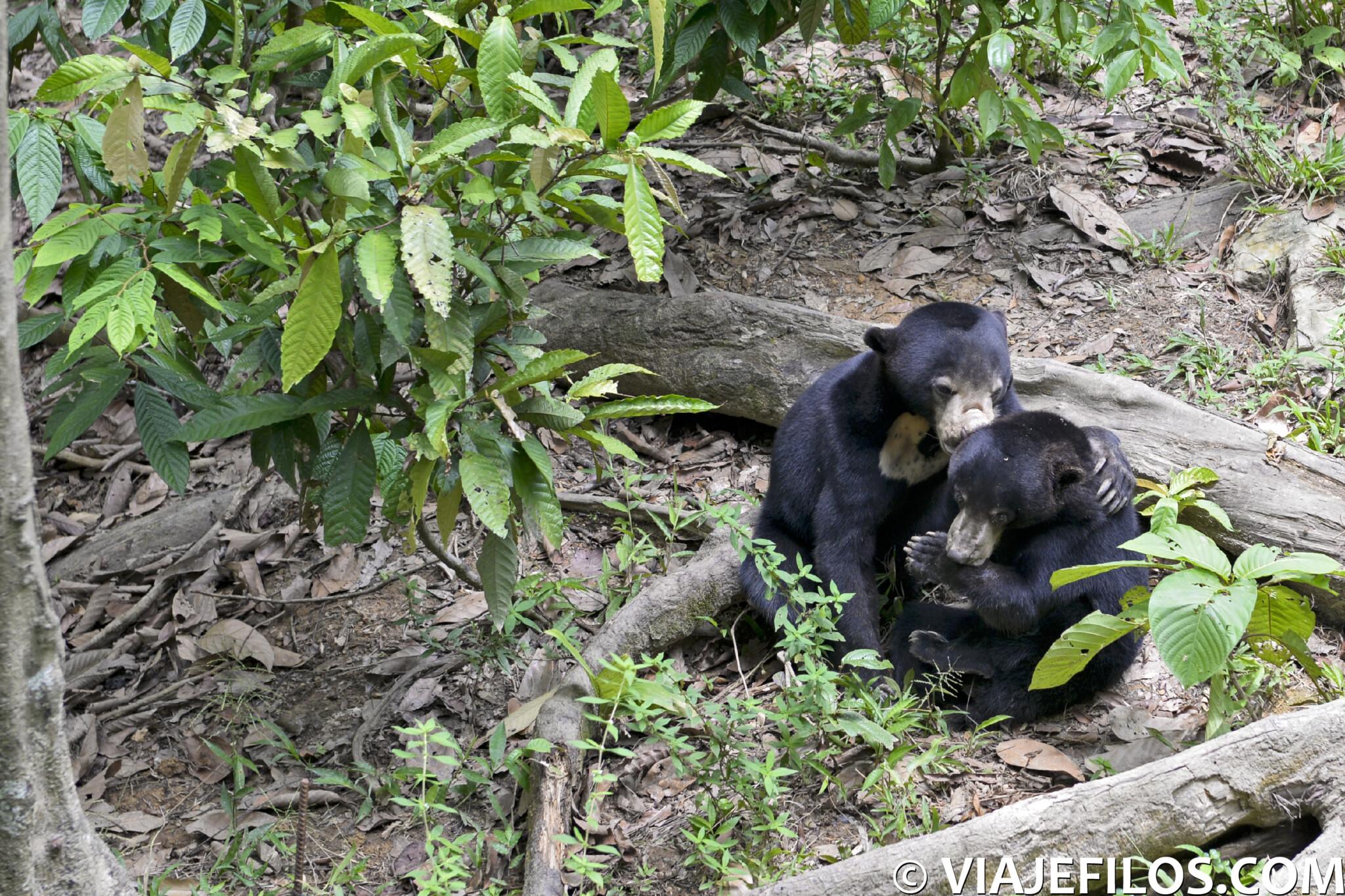 Si te andas preguntando por que ver en Borneo, la visita de la reserva de osos malayos de Sepilok es imprescindible, una parada previa a la visita de los orangutanes