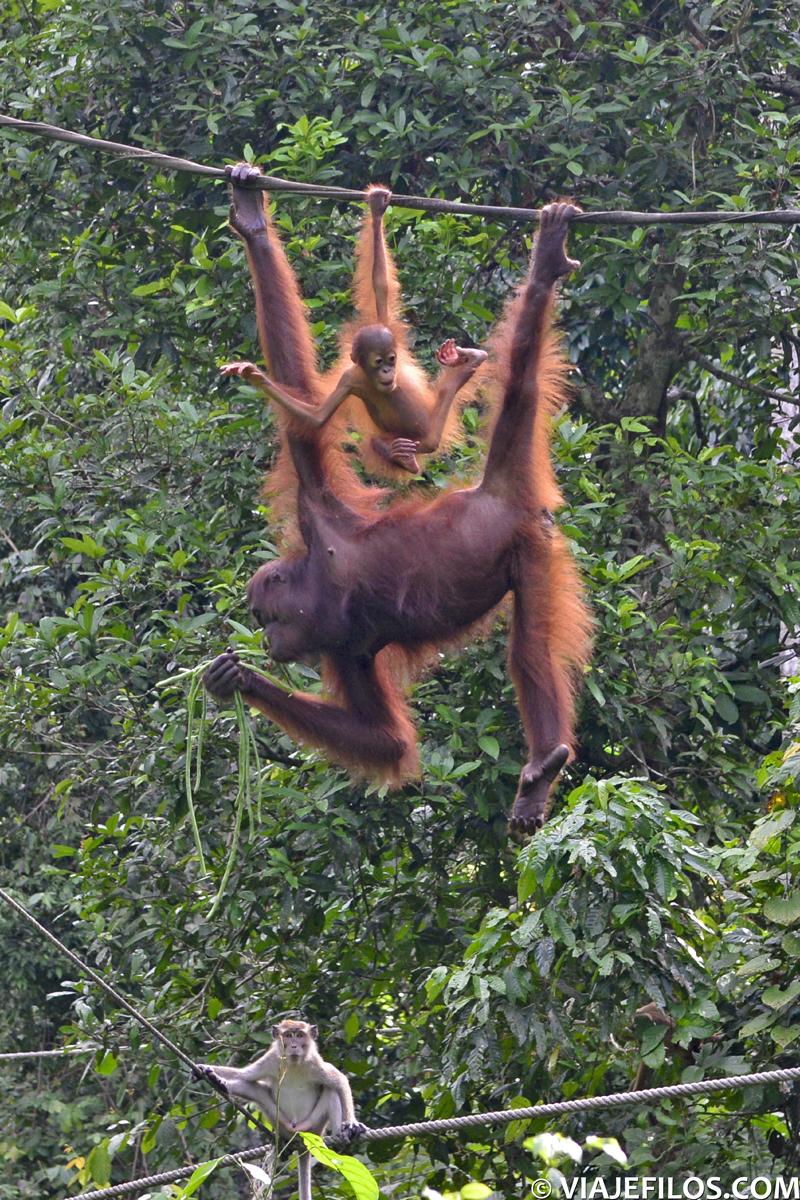 Orangutanes de la reserva de Sepilok
