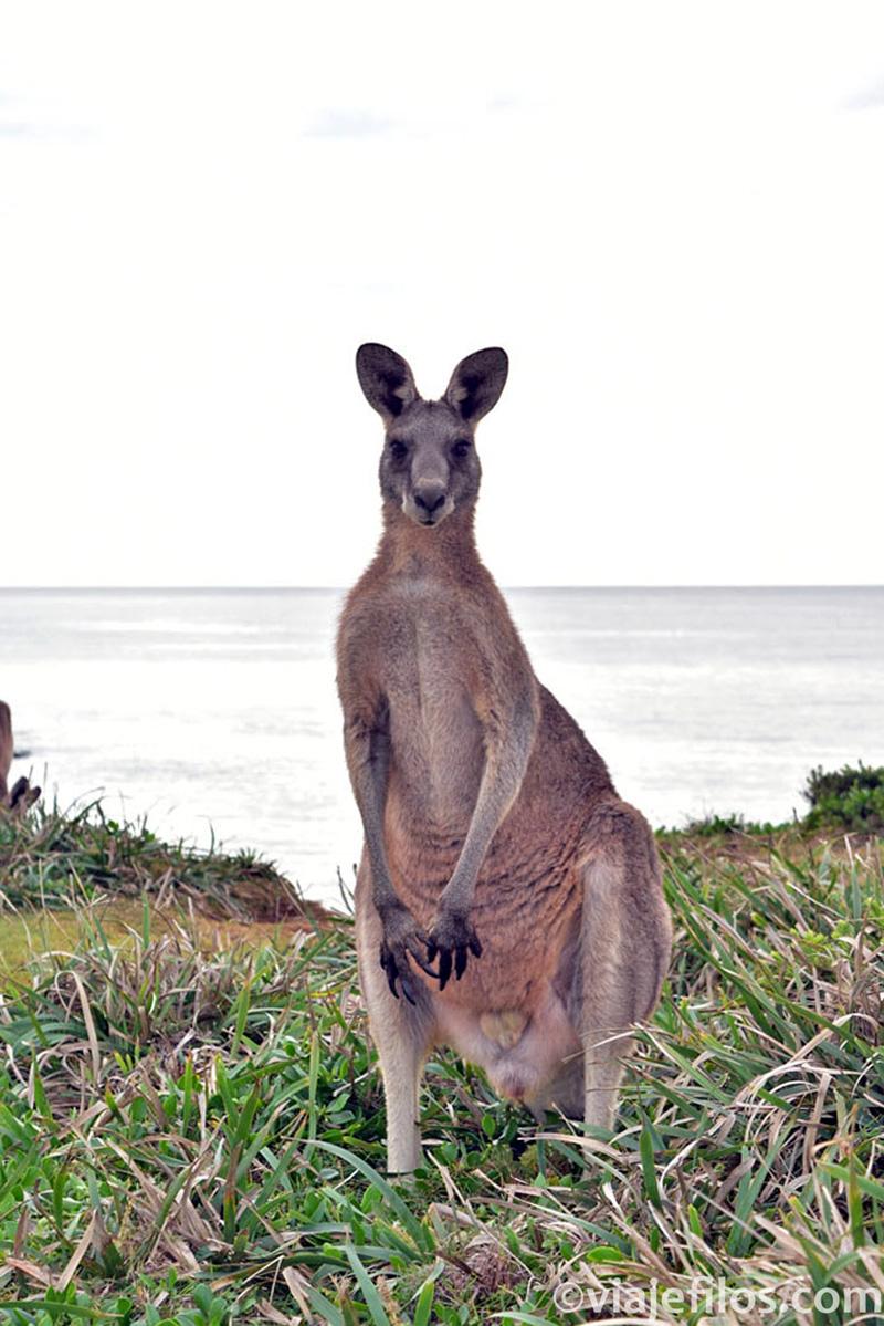 Bienvenida a Australia. Canguros
