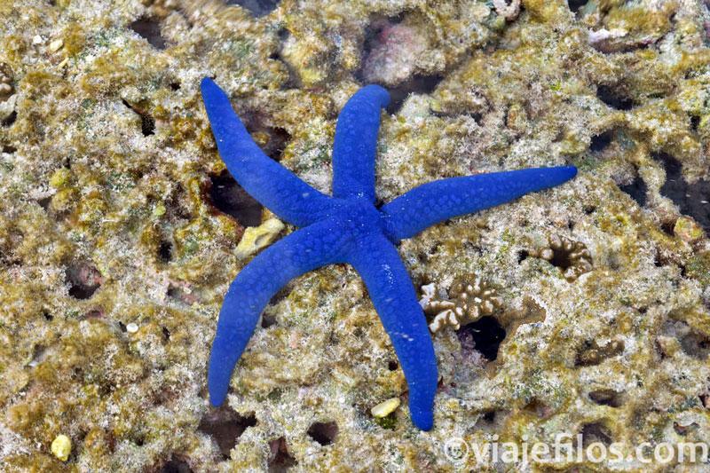 Estrellas de mar de Australia