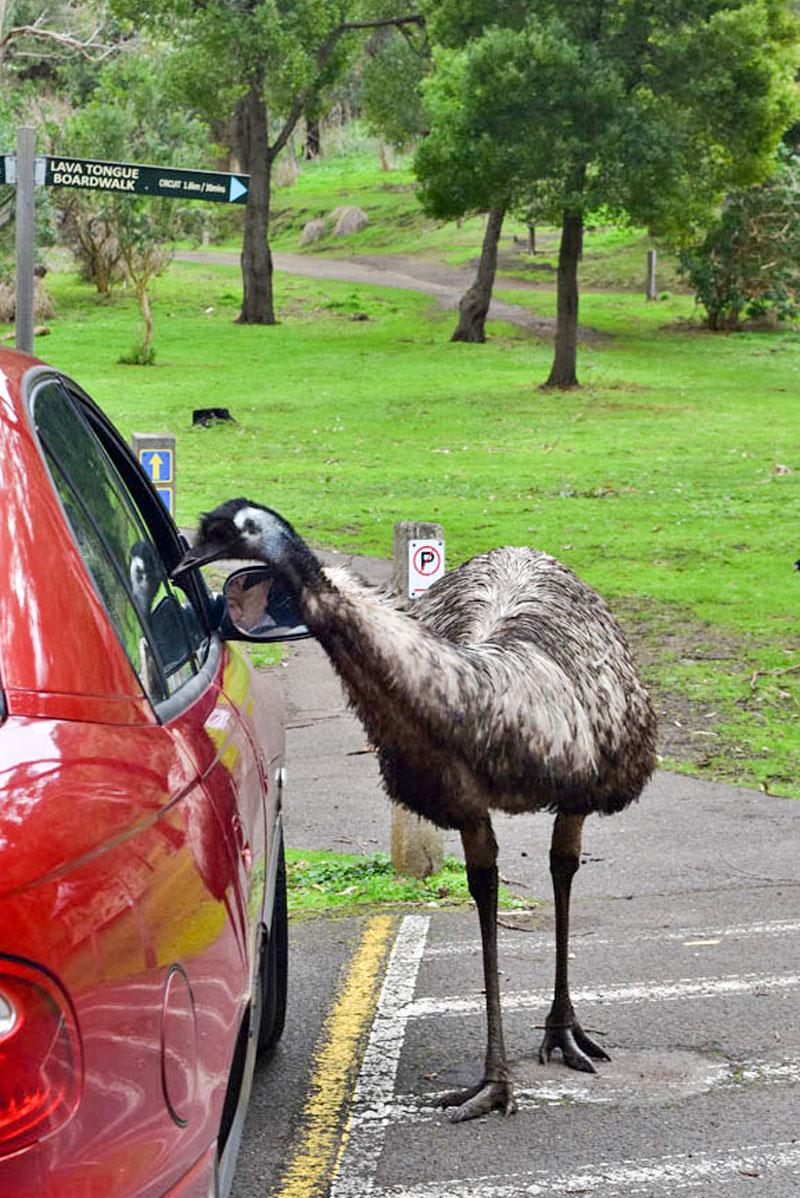 Emús en Tower Hill Wildlife Reserve