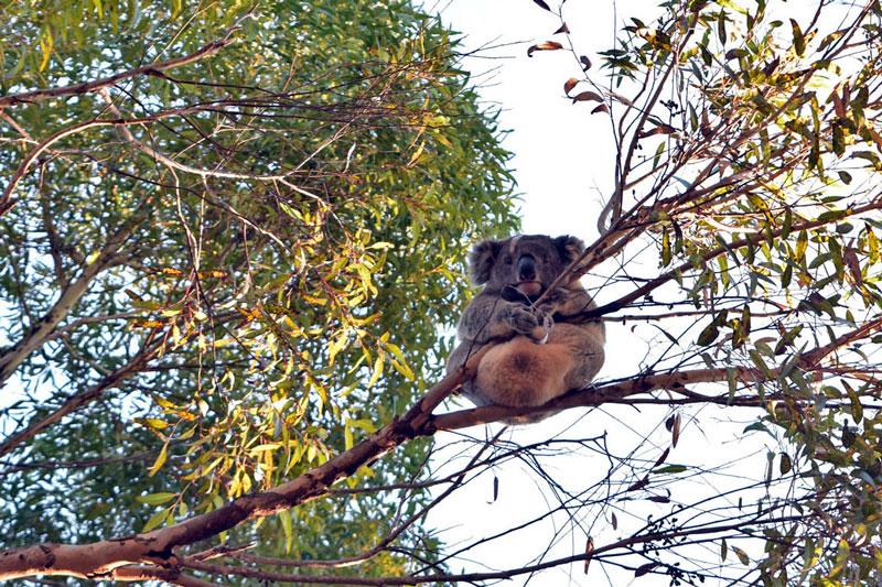 Koalas en Kangaroo Island