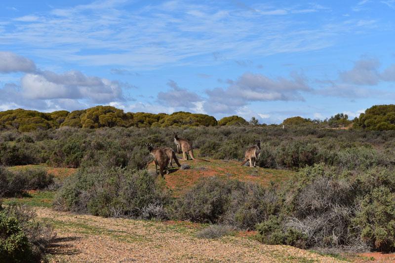 Paseo con canguros por Botanic Garden y Matthew Flinders Red Cliff Lookout (Port Augusta)