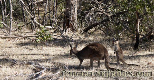 Canguros en el Kaiser Stuhl National Park