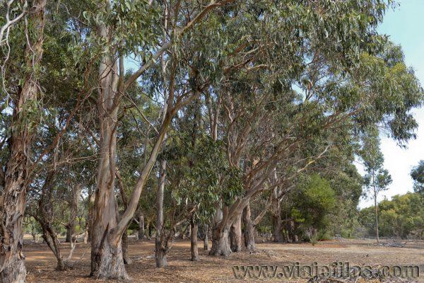 Koala Walk en la isla de Kangaroo